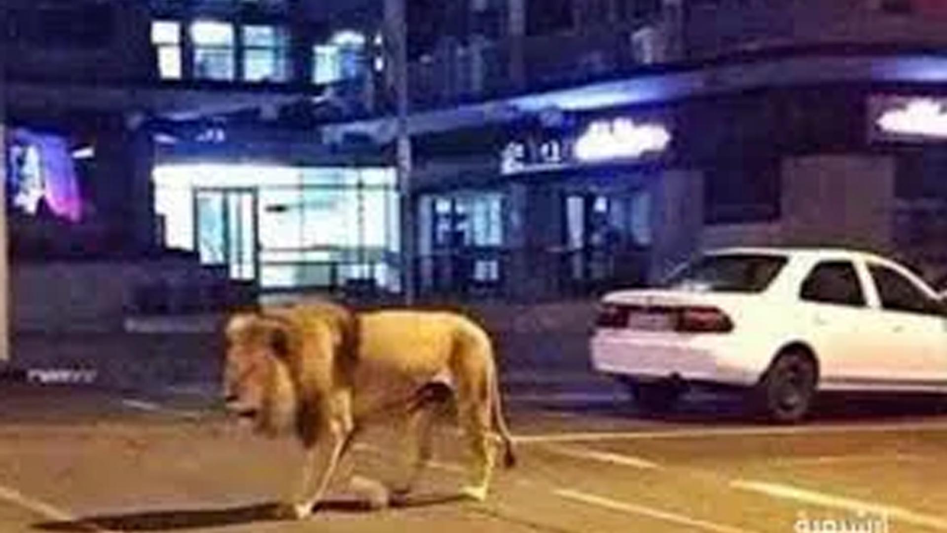 القبض على رجل سعودي لأخذ أسد أليف في نزهة حول جدة