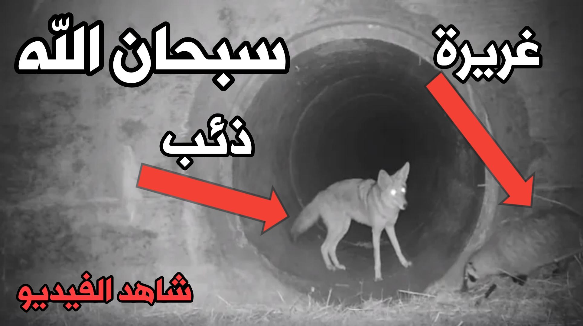 فيديو نادر سبحان الله ذئب يساعد حيوان الأغريرة في عبور النفق في كاليفورنيا